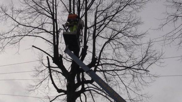 Council U-turn on Sheffield street trees
